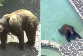 Wild bear cools off in Los Angeles swimming pool - NO COMMENT