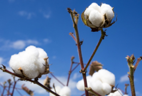 Exports of cotton fiber, yarn up in Azerbaijan in 10 months 2019