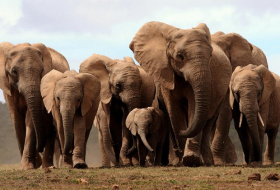 Elephants are strangely resistant to cancer - and we may finally know why
