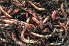 Research shows that earthworms can thrive even in Mars soil