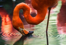 Scientists balanced a dead flamingo on one leg to unlock the bird's standing secret