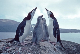 Penguins die in 'catastrophic' Antarctic breeding season